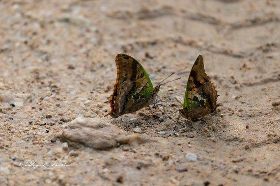 Rubondo Island, Tanzania: Green-veined charaxes
