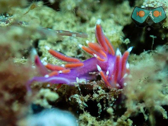 "Bahia De Casares, Spain: Sea Slug ""Pink Flabellina"" spotted by ScubaCourse."