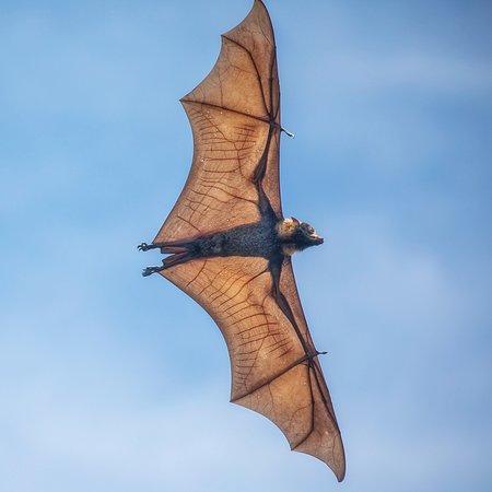 Solar Whisper Daintree River Wildlife Cruises: Spectacled flying fox 