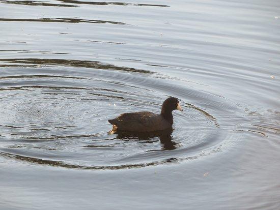 Duck, Pond, Skyline Ridge Open Space, La Honda, Ca