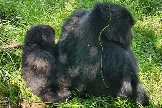 Gorilla Walkers Uganda