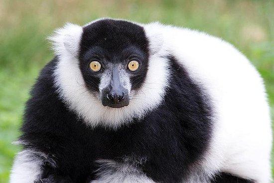 Andasibe National Park and lemur's...