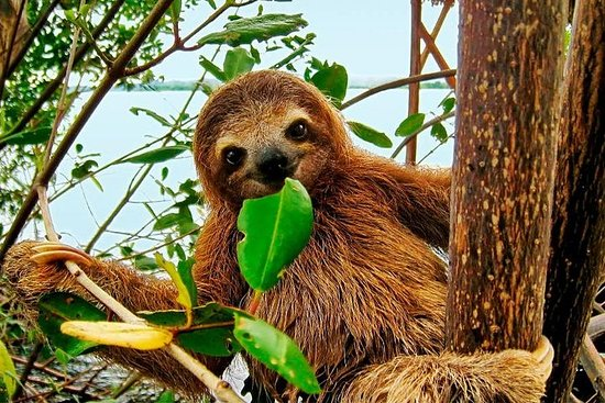 Regnskog Bijagua Ranas Costa Rica...