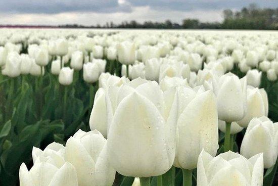 Explorez les champs de tulipes et de...