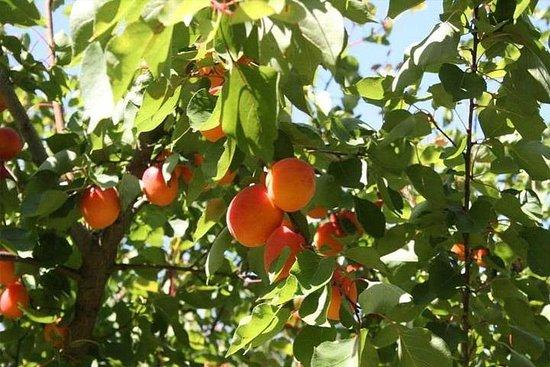墨尔本私人水果采摘之旅(最多11人)