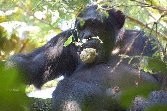 2 Days Chimpanzee Tracking and Canopy...