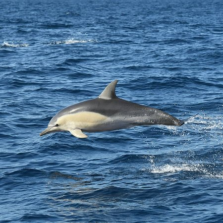 Bremer Canyon Killer Whale (Orca) Expedition: Common dolphin