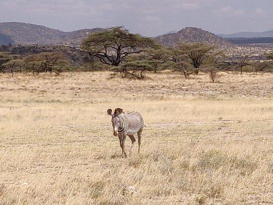 Buffalo Springs Game Reserve, เคนยา: Zebra