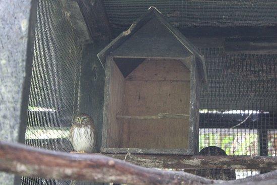La Democracia, Belize: small owl