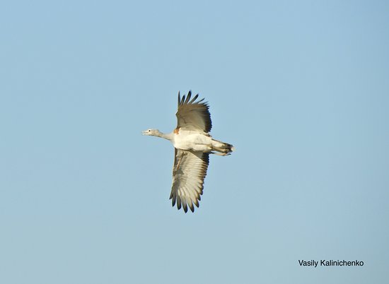 Wings of Hungary - birding and nature tours: Great Bustard