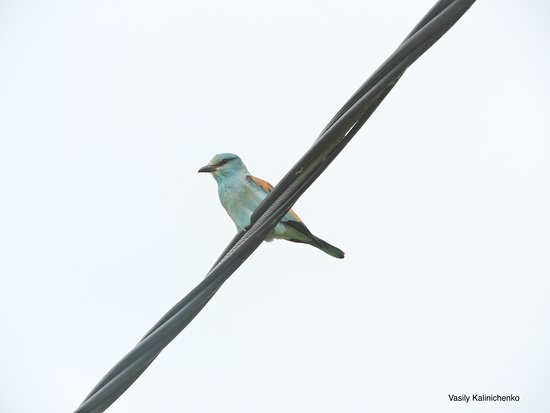 Wings of Hungary - birding and nature tours: European Roller