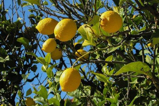 阿馬爾菲檸檬體驗-來自索倫托
