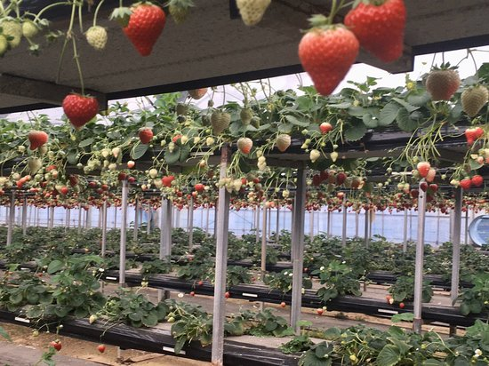 Iida Strawberry Farm
