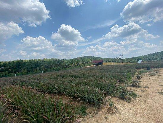Sky Ladder Pineapple Farm