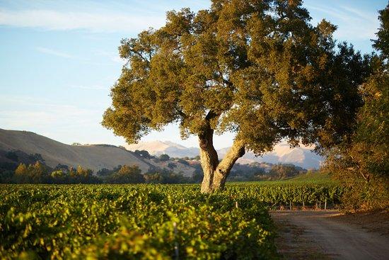Los Olivos, CA: Estate Vineyard