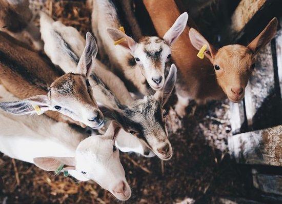 Rabo de Peixe, โปรตุเกส: Our Goats