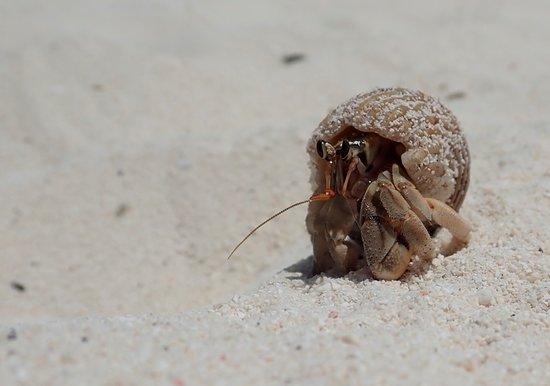 Ukulhas: Hermit crab