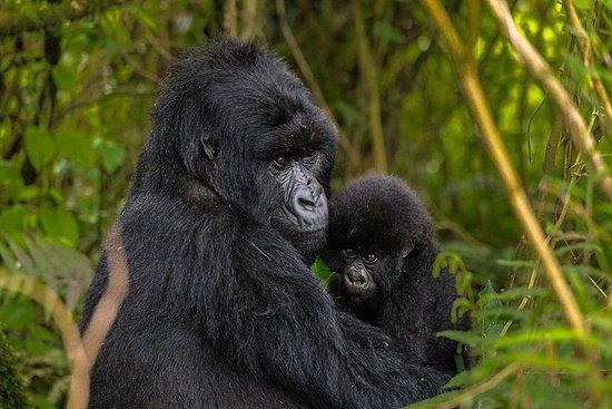 Safari Gorilla Private de 4 jours en...
