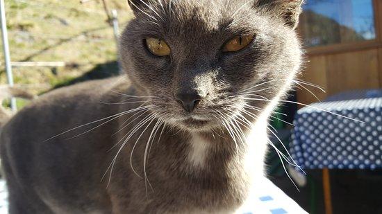 Verceia, Italia: Lo sguardo penetrante di un gatto al rifugio Frasnedo in Val di Ratti.