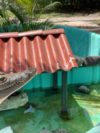 3 year old crocodile at El Cora