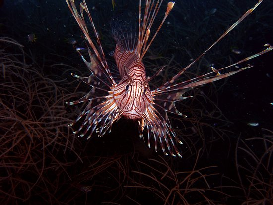 Balicasag Island, Filippijnen: Have you been up-close to Pterois? Pterois is a genius of venomous marine fish, commonly known as lionfish. This beautiful creature also carry a venom. So, if you see one of these creature. You better not to stay up-close.