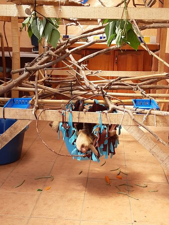 San Isidro, Costa Rica: Young sloths learning to climb and feed themselves.