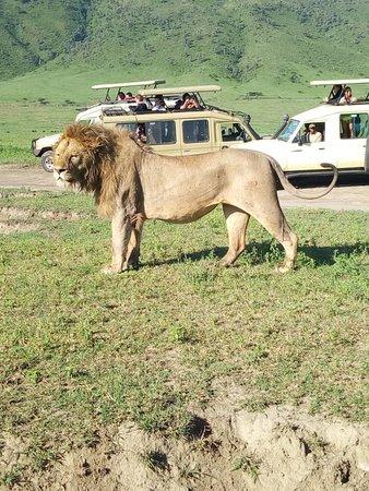 Book your #5daysTanzaniaSafari with #Timberwolf Adventure & explore the best ever wild life experience in the heart of #Africa. View the itinerary of this safari @ http://www.timberwolfadventure.com/ansi-5-days-4-nights  #Africa #Ngorongorocrater #wildlife #Tanzaniasafari #experiencetanzania #influencer #instagood #Tanzaniatours #lion #wildanimal #unforgetablesafari #africatours #serengeti #culturalsafaris #honeymoonsafaris #familytours #lakemanyara