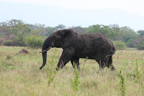 Semuliki National Park, ยูกันดา: Waldelefant