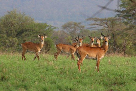 Semuliki National Park, ยูกันดา: Uganda Kobs