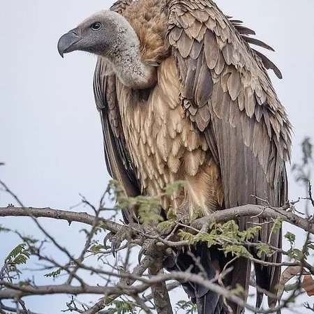 The African white-backed vulture.  This vulture is critically endangered. The status 'critically endangered' is very serious because this means only one step away from extinction in the wild and then the worst. Extinction.  Their numbers have rapidly declined in the last few decades.