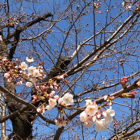 桜に満たされた公園