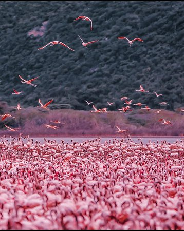 Baringo District, Kenia: Lake Bogoria is a paradise to flamingos colonies. How many flamingo do you count? #MagicalKenya #TembeaKenya #ComeLiveTheMagic  #DiscoverMagicalKenya 📸 @HobopeebaK
