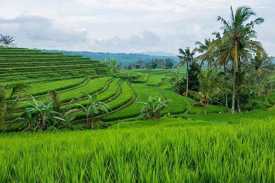 巴厘岛Jatiluwih Rice Terrace一日游