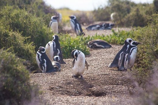 Punta Tombo Tour, the Penguin Experience
