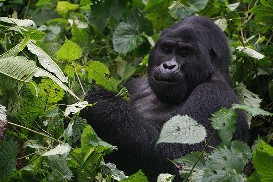 2 dager Gorilla Trekking Uganda