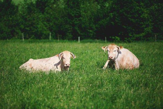 Unsere Tiere leben in Mutterkuhhaltung und grasen auf fränkischen Weiden.