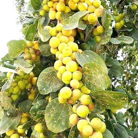 Rajshahi Division, Bangladesh: Delicious fruit