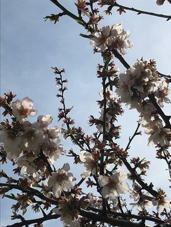 Thessaloniki Region, Yunanistan: Όμορφη ανθισμένη αμυγδαλιά. Beautiful blooming almond tree