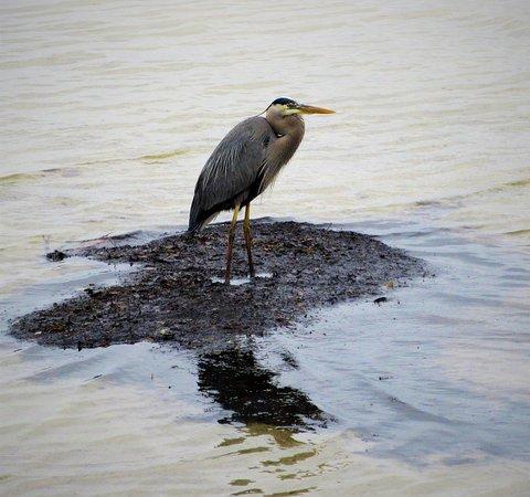Terra Ceia, FL: Heron on a Mudflat Spot