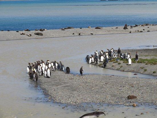 South Georgia: King Penguins