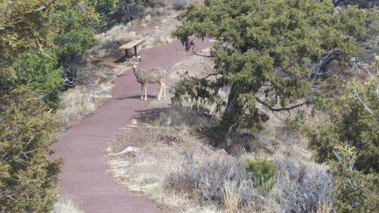 Capulin, NM: Deer crossing along the volcano crater