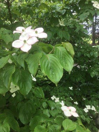 Tipton, MI: Dogwood.   Hidden lake gardens