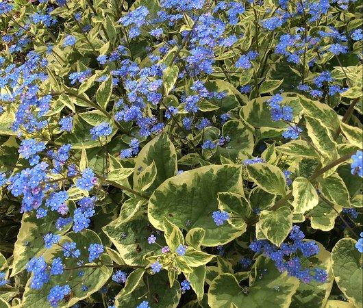 Tipton, MI: Forget Me Nots.  Hidden Lake Gardens.  Spring!