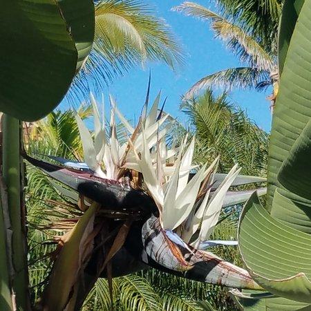 ארצות הברית: Bird of paradise flower, picture taken in Florida a few years ago.