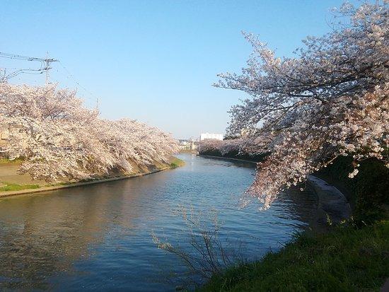 ①桜が満開(Sakura ga mankai)♪ Las flores de cerezo están en plena floración ♪ The cherry trees are in full blossom ♪