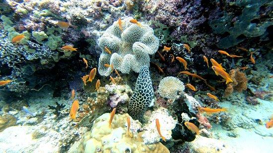 Honeycomb Moray Eel, Rasdhoo 2020