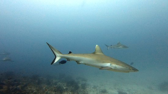 Sharks, Rasdhoo 2020