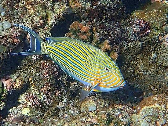 Indonesië: Lined surgeonfish