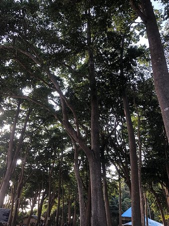 banyan trees adjoining the coastline.