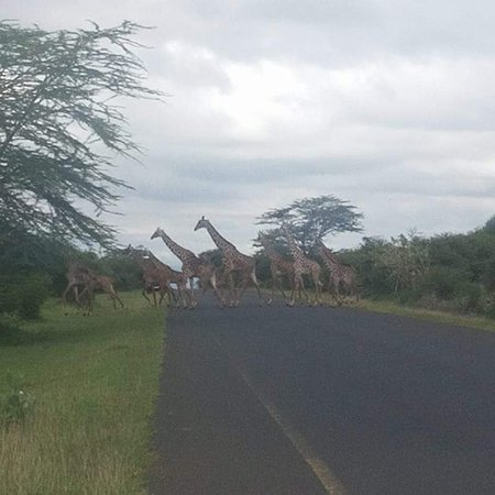 Lake Manyara National Park, Tansania: Giraffes crossing the road in Lake manyara ecosystem area, closed by park